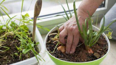 زراعة الخضروات في حديقة المنزل