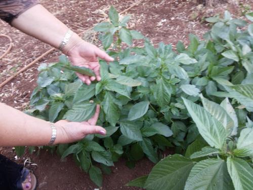 كيفية زراعة الملوخية في البيوت البلاستيكية