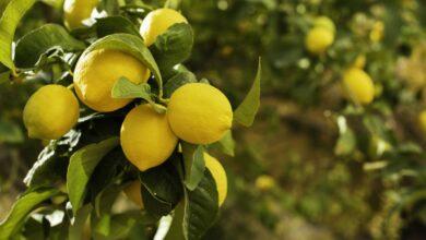 دراسة جدوي زراعة الليمون وأسهل طرق زراعة الليمون وجمعه بالمنزل