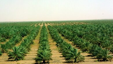 أهم المحاصيل الزراعية في المملكة العربية السعودية وأفضل المناطق الزراعية بالمملكة