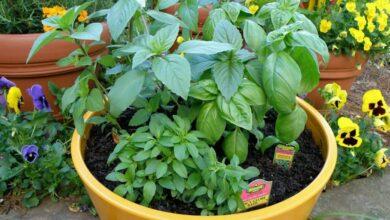 طريقة زراعة النباتات العطرية في المنزل والربح منها 2021
