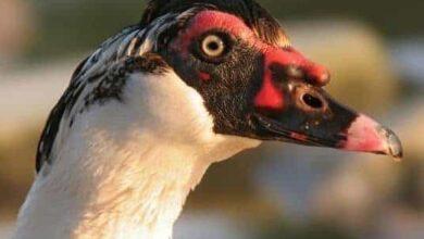 علاج الإسهال عند البط المسكوفي