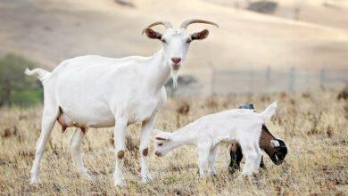 متى يتم تلقيح الماعز بعد الولادة