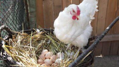 مدة تفقيس بيض الدجاج البلدي ودرجة الحرارة اللازمة