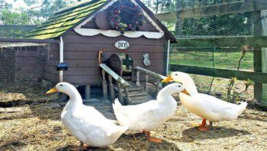 مشروع تربية البط في المنزل من حيث البط المسكوفي والمولار وحساب أرباح المشروع