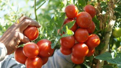موعد زراعة الطماطم في السعودية ومدة زراعتها
