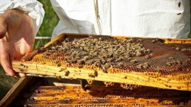 كيفية تربية النحل في المنزل
